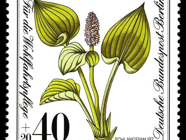 Water Arum (Calla Palustris) http://www.sagebud.com/water-arum-calla-palustris/