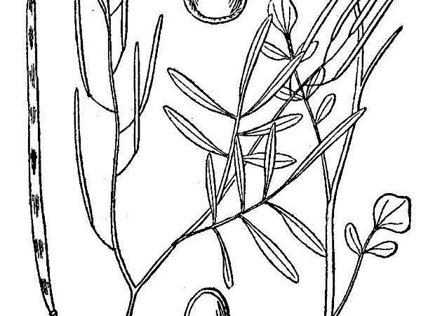 Sand Bittercress (Cardamine Parviflora) http://www.sagebud.com/sand-bittercress-cardamine-parviflora