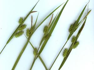 CAPA17/Carex_pallescens_300.jpg