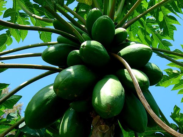 Papaya (Carica Papaya) http://www.sagebud.com/papaya-carica-papaya