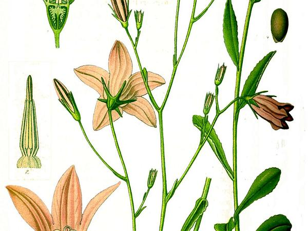 Spreading Bellflower (Campanula Patula) http://www.sagebud.com/spreading-bellflower-campanula-patula