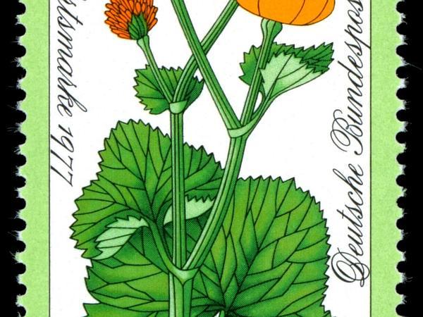 Yellow Marsh Marigold (Caltha Palustris) http://www.sagebud.com/yellow-marsh-marigold-caltha-palustris/