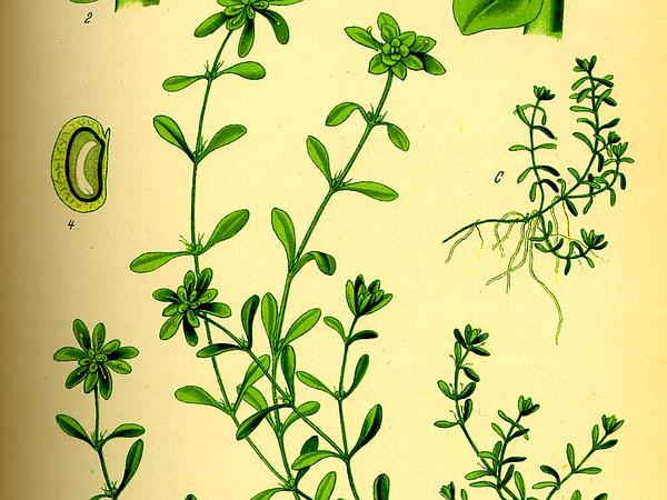Vernal Water-Starwort (Callitriche Palustris) http://www.sagebud.com/vernal-water-starwort-callitriche-palustris/