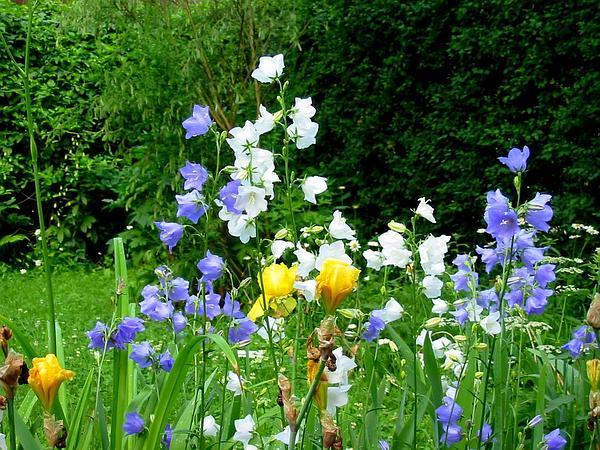 Peachleaf Bellflower (Campanula Persicifolia) http://www.sagebud.com/peachleaf-bellflower-campanula-persicifolia