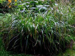 CAPE45/Carex-pendula-total_300.JPG
