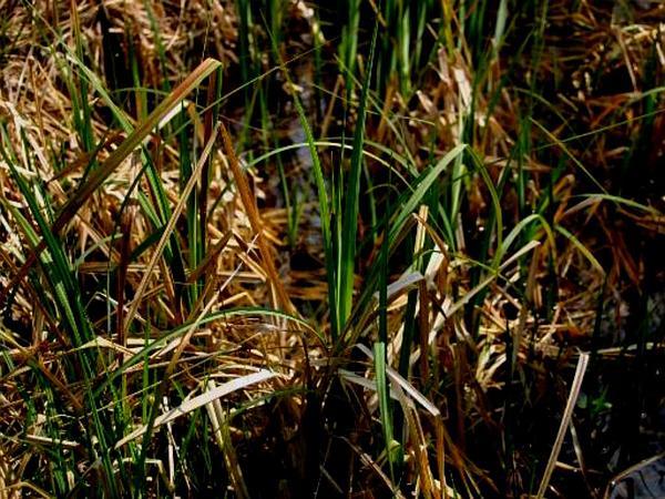 Hanging Sedge (Carex Pendula) http://www.sagebud.com/hanging-sedge-carex-pendula