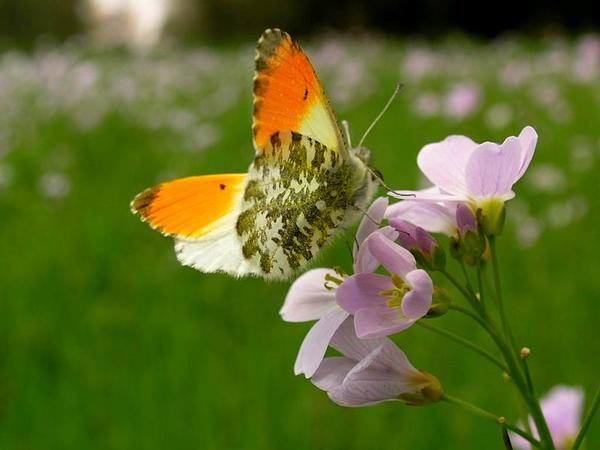 Cuckoo Flower (Cardamine Pratensis) http://www.sagebud.com/cuckoo-flower-cardamine-pratensis