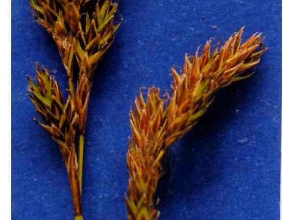 Meadow Sedge (Carex Praticola) http://www.sagebud.com/meadow-sedge-carex-praticola