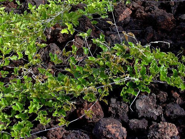 Lavafield Jackbean (Canavalia Pubescens) http://www.sagebud.com/lavafield-jackbean-canavalia-pubescens/