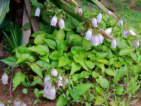 Spotted Bellflower (Campanula Punctata) http://www.sagebud.com/spotted-bellflower-campanula-punctata