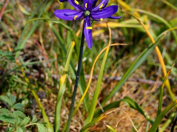 Small Camas (Camassia Quamash) http://www.sagebud.com/small-camas-camassia-quamash