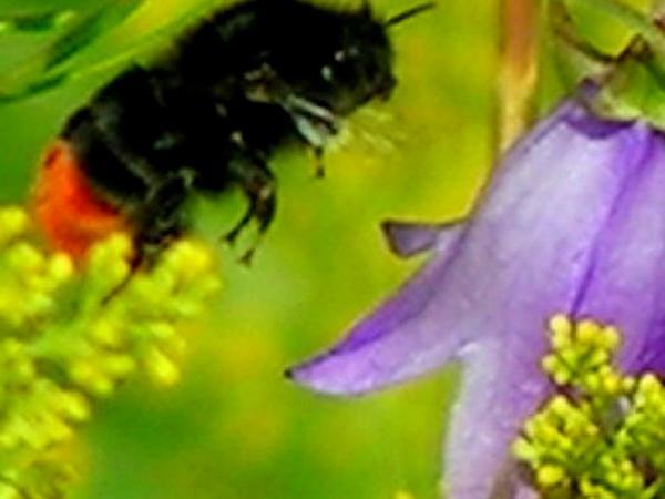 Rampion Bellflower (Campanula Rapunculoides) http://www.sagebud.com/rampion-bellflower-campanula-rapunculoides