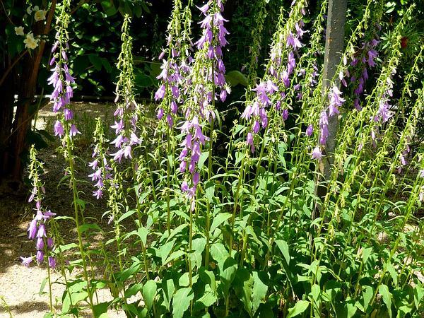 Rampion Bellflower (Campanula Rapunculoides) http://www.sagebud.com/rampion-bellflower-campanula-rapunculoides/