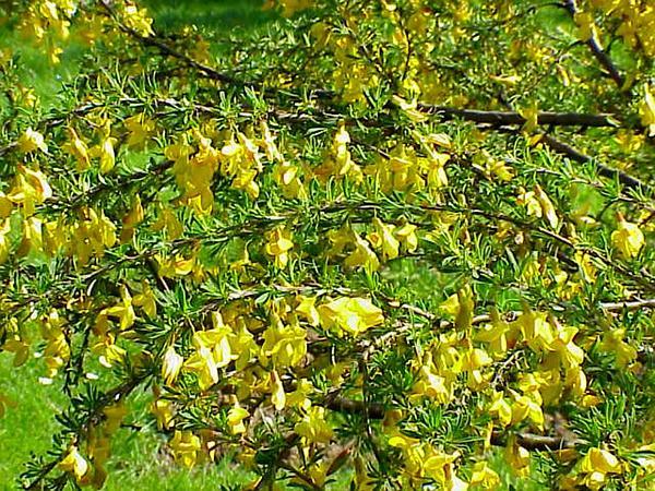 Peashrub (Caragana) http://www.sagebud.com/peashrub-caragana
