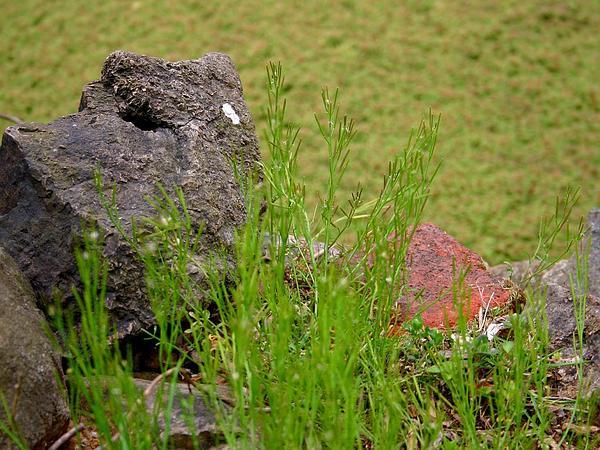 Bittercress (Cardamine) http://www.sagebud.com/bittercress-cardamine