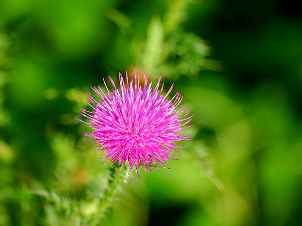 Plumeless Thistle (Carduus)