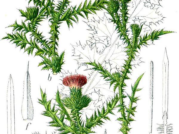 Plumeless Thistle (Carduus) http://www.sagebud.com/plumeless-thistle-carduus