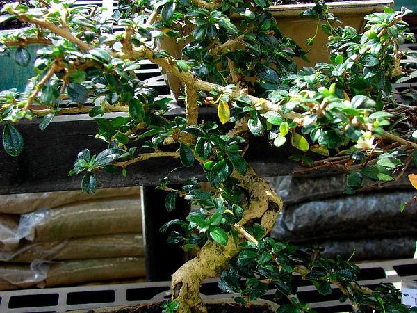Scorpionbush (Carmona Retusa) http://www.sagebud.com/scorpionbush-carmona-retusa