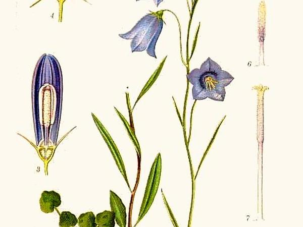 Bluebell Bellflower (Campanula Rotundifolia)