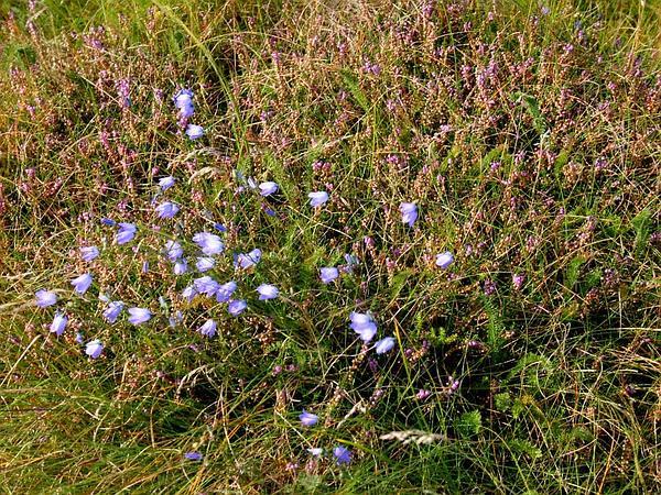 Bluebell Bellflower (Campanula Rotundifolia) http://www.sagebud.com/bluebell-bellflower-campanula-rotundifolia