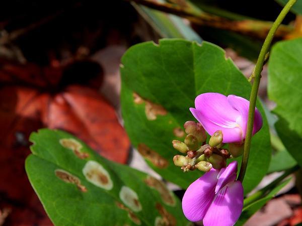 Baybean (Canavalia Rosea) http://www.sagebud.com/baybean-canavalia-rosea