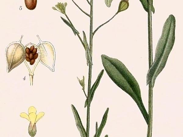 Gold-Of-Pleasure (Camelina Sativa)