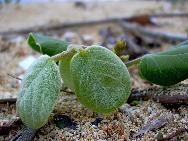 Silky Jackbean (Canavalia Sericea) http://www.sagebud.com/silky-jackbean-canavalia-sericea/