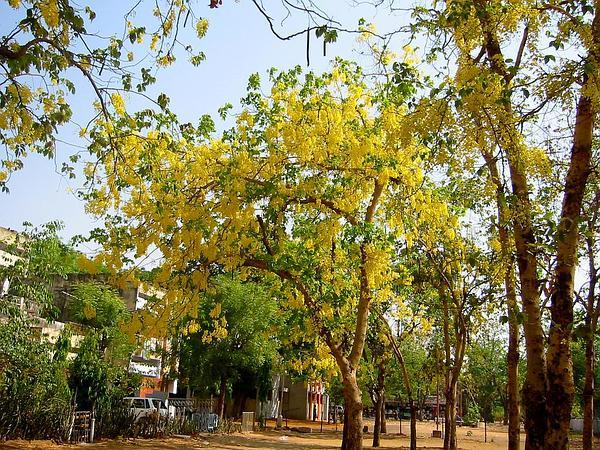 Cassia (Cassia) http://www.sagebud.com/cassia-cassia/