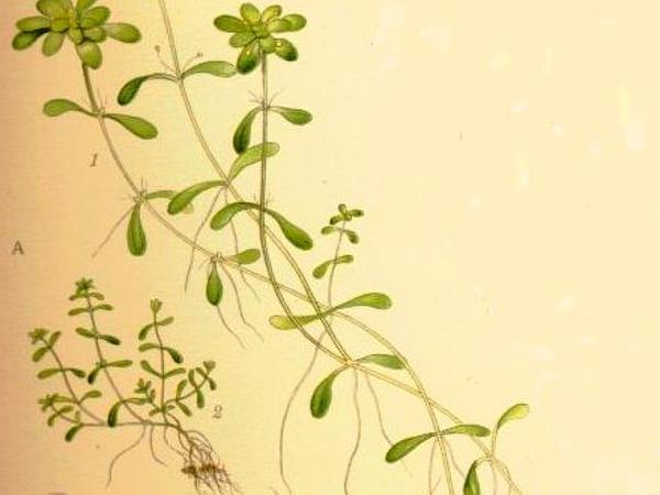 Pond Water-Starwort (Callitriche Stagnalis) http://www.sagebud.com/pond-water-starwort-callitriche-stagnalis/