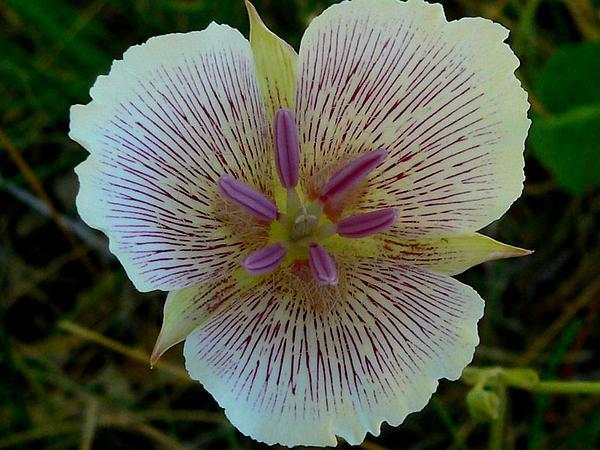 Alkali Mariposa Lily (Calochortus Striatus) http://www.sagebud.com/alkali-mariposa-lily-calochortus-striatus/