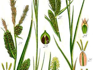 CAST8/Carex_spp_Sturm36_300.jpg