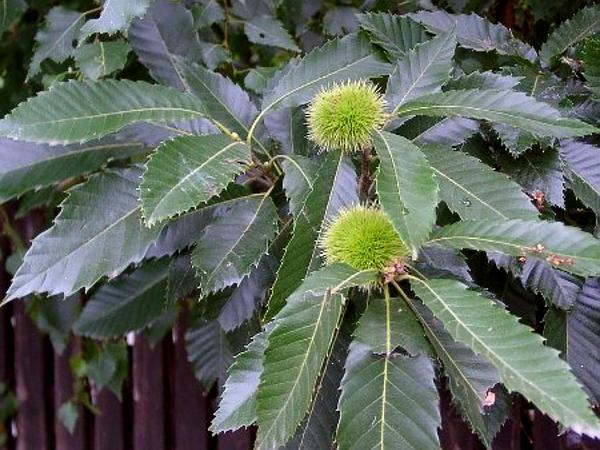 Chestnut (Castanea) http://www.sagebud.com/chestnut-castanea/