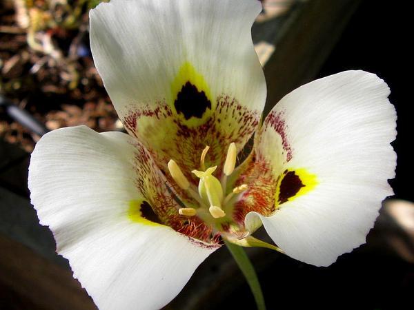 Yellow Mariposa (Calochortus Superbus) http://www.sagebud.com/yellow-mariposa-calochortus-superbus