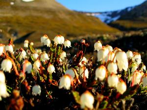 White Arctic Mountain Heather