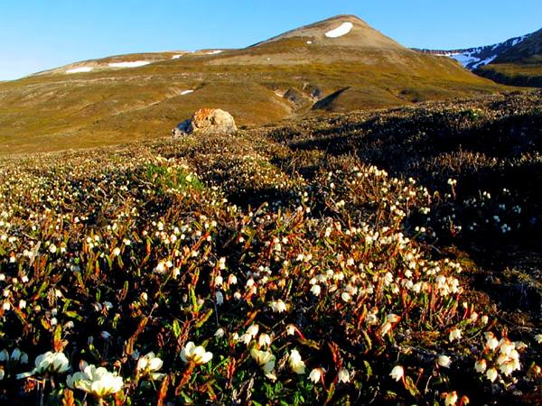 White Arctic Mountain Heather (Cassiope Tetragona) http://www.sagebud.com/white-arctic-mountain-heather-cassiope-tetragona