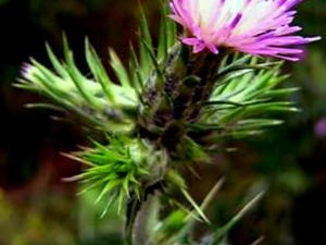 Winged Plumeless Thistle