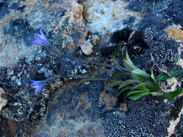 Arctic Bellflower (Campanula Uniflora) http://www.sagebud.com/arctic-bellflower-campanula-uniflora/
