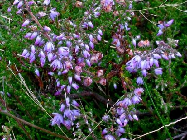 Heather (Calluna Vulgaris) http://www.sagebud.com/heather-calluna-vulgaris