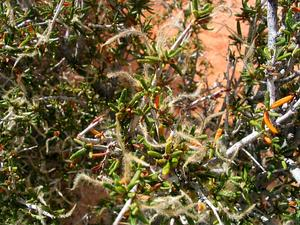 Littleleaf Mountain Mahogany