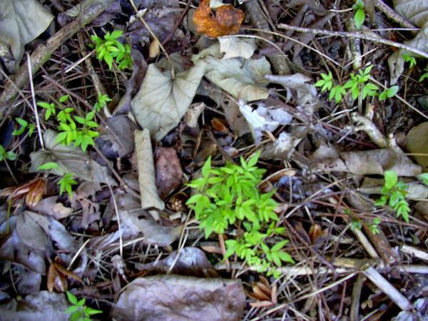 Spanish Cedar (Cedrela Odorata) http://www.sagebud.com/spanish-cedar-cedrela-odorata/