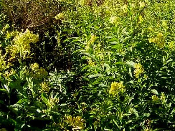 Chilean Jessamine (Cestrum Parqui) http://www.sagebud.com/chilean-jessamine-cestrum-parqui/