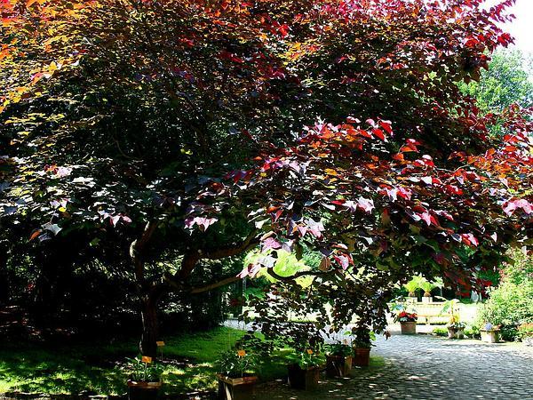 Redbud (Cercis) http://www.sagebud.com/redbud-cercis