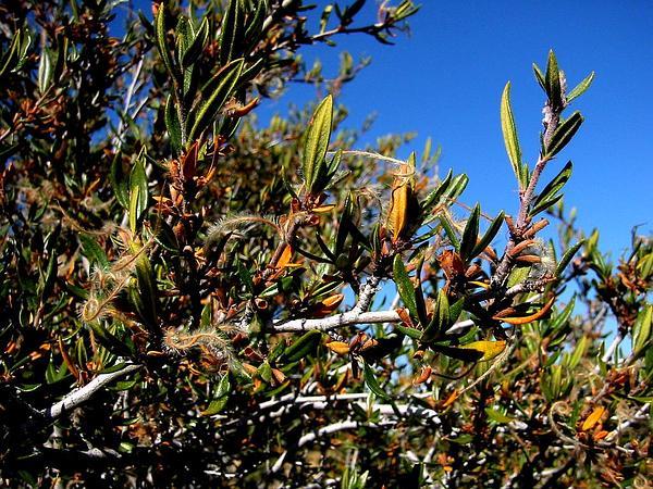 Mountain Mahogany (Cercocarpus) http://www.sagebud.com/mountain-mahogany-cercocarpus