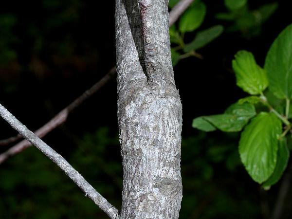 Redstem Ceanothus (Ceanothus Sanguineus) http://www.sagebud.com/redstem-ceanothus-ceanothus-sanguineus