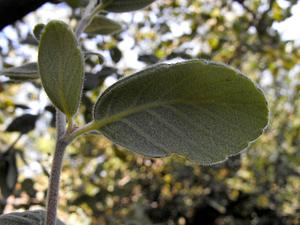 Catalina Island Mountain Mahogany