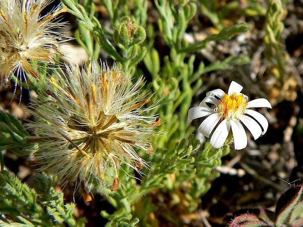 Leastdaisy (Chaetopappa) http://www.sagebud.com/leastdaisy-chaetopappa