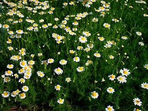CHAMA11/Anthemis_nobilis_prg_1_300.jpg