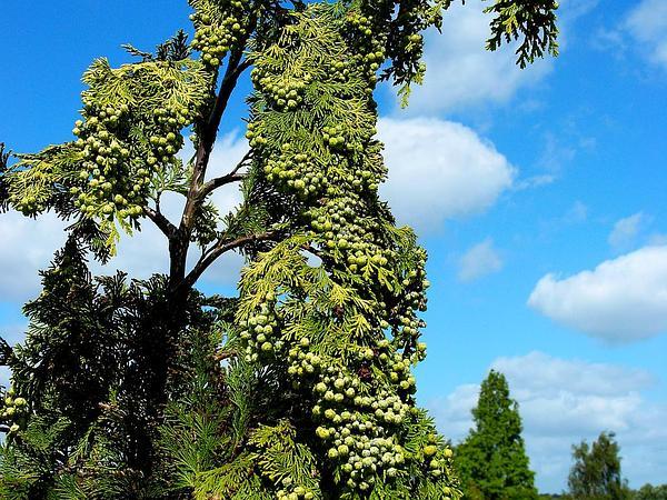 Cedar (Chamaecyparis) http://www.sagebud.com/cedar-chamaecyparis