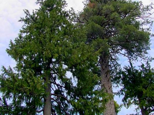 Cedar (Chamaecyparis) http://www.sagebud.com/cedar-chamaecyparis/