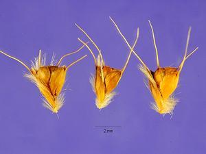 Swollen Fingergrass